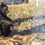Шимпанзе умеют готовить