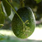 Авокадо – овощ-фрукт