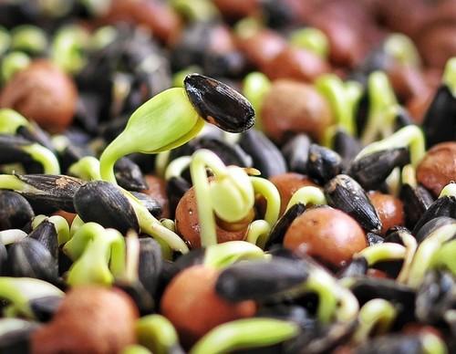 5 причин включить проросшие зерна в свой рацион