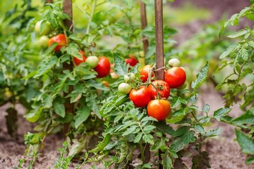 Томатная паста из своих помидоров, особенности приготовления и хранения