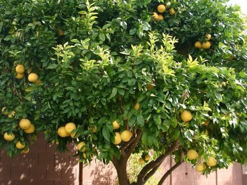 Помело: что за фрукт, вред и польза, как правильно выбрать