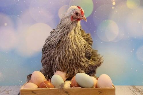 Перепелиные яйца против куриных – преимущества и недостатки